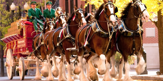 Budweiser Clydesdales coming to SW Florida